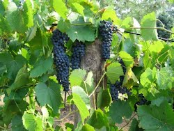 French Hybrid grapes