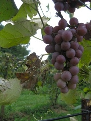 Moored grapes